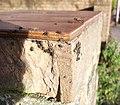 Tuberolachnus salignus sur une brique.jpg