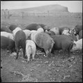 Tule Lake Relocation Center, Newell, California. A close up of hogs eating garbage at the temporary . . . - NARA - 536375.tif