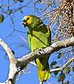 Turquoise-fronted Amazon (Amazona aestiva) (29293780452).jpg