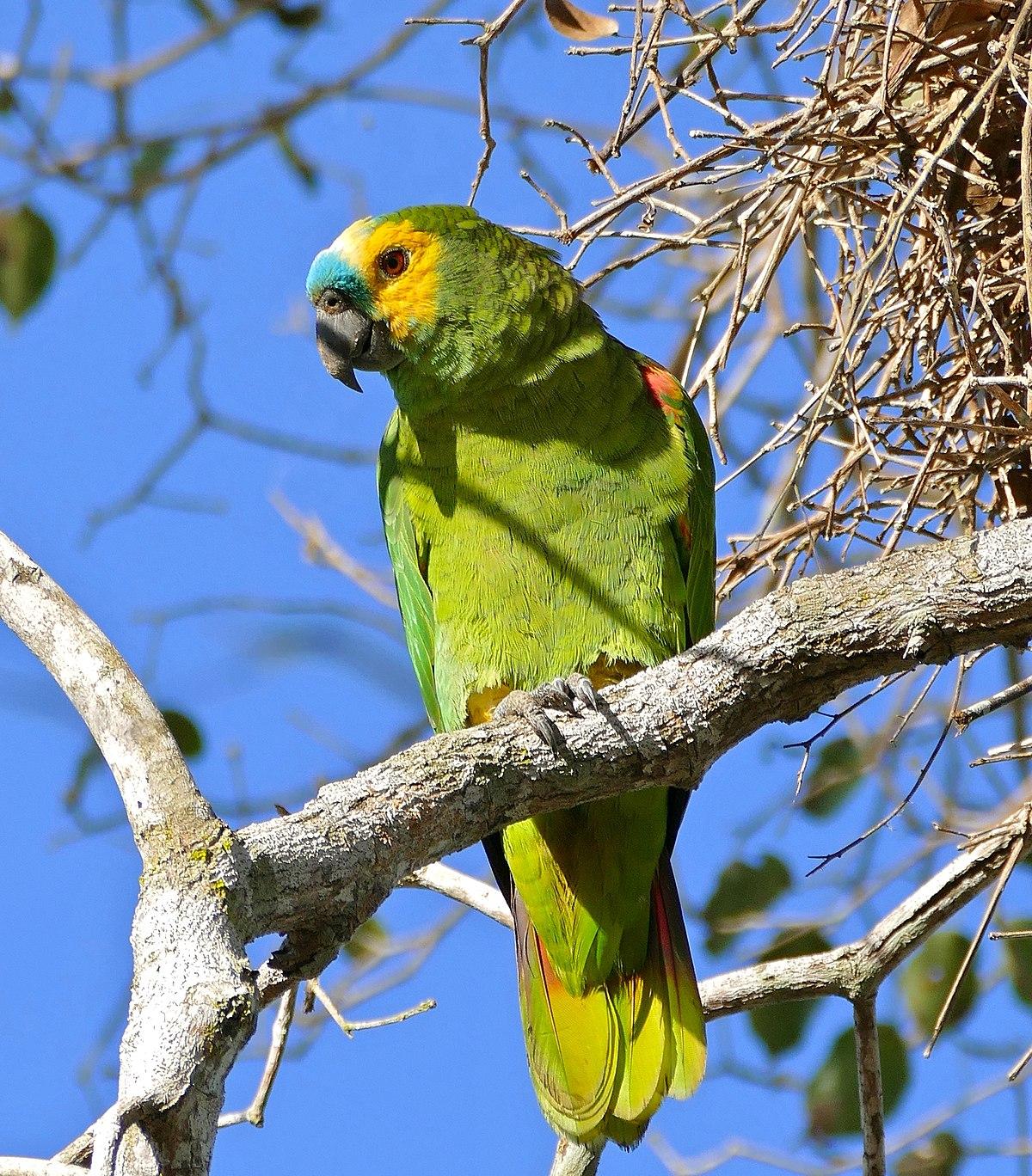 Liste des oiseaux du Brésil — Wikipédia