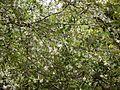Turraea villosa (7432541926).jpg