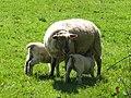 Twin lambs suckling near Bledlow Ridge - geograph.org.uk - 1816462.jpg