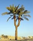 Twin palm Chahvarz Hadi Karimi.jpg