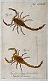 Two scorpions; Tityus denticulatus and Tityus serenus. Colou Wellcome V0022430EL.jpg