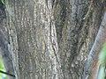 Ulmus americana 29zz.jpg