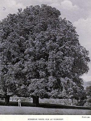 Ugbrooke - Image: Ulmus laevis at Ugbrooke