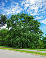 Ulmus parvifolia Kings choice tree.jpg