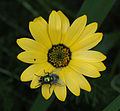 Unidentified Fly on Unidentified Yellow Flower 2051px.jpg