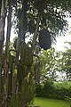 Unusual tree, Barbados (6737650967).jpg