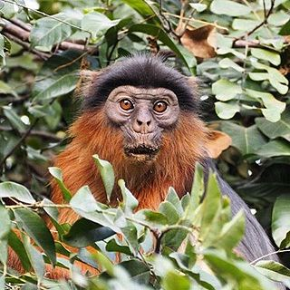 Temmincks red colobus Subspecies of Old World monkey