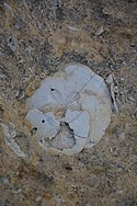 Urchin fossil Malta 02.jpg