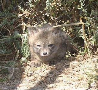 Island fox - An island fox kit nestled in the brush