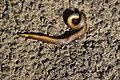 Uropeltidae RJM 7424.jpg