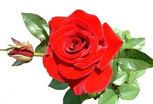 English: rose