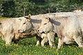 Vaches allée Pré Brus St Cyr Menthon 23.jpg