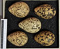 Vanellus vanellus MWNH 0308.JPG