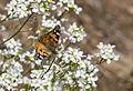 Vanessa cardui - Diken kelebeği 08.jpg