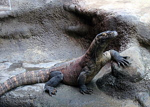 Island ecology - The Komodo dragon is an example of island gigantism.