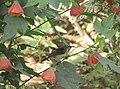 Variable Sunbird (Cinnyris venustus) Rwanda.jpg