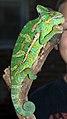 Veiled Chameleon Pet Chicago 10 2007.jpg