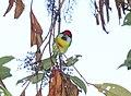 Versicolored Barbet (Eubucco versicolor) (9499625826).jpg