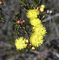 Verticordia chrysanthella.jpg