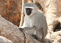 Vervet Monkey at Borakalalo National Park, South Africa - waiting to steal my cheese (10001278014).jpg