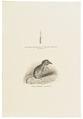 Vespertilio mystacinus - haar - 1700-1880 - Print - Iconographia Zoologica - Special Collections University of Amsterdam - UBA01 IZ20900133.tif