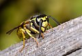 Vespula germanica-pjt4.jpg