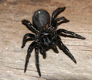 Atrax robustus  Sydney Funnel-web Spider