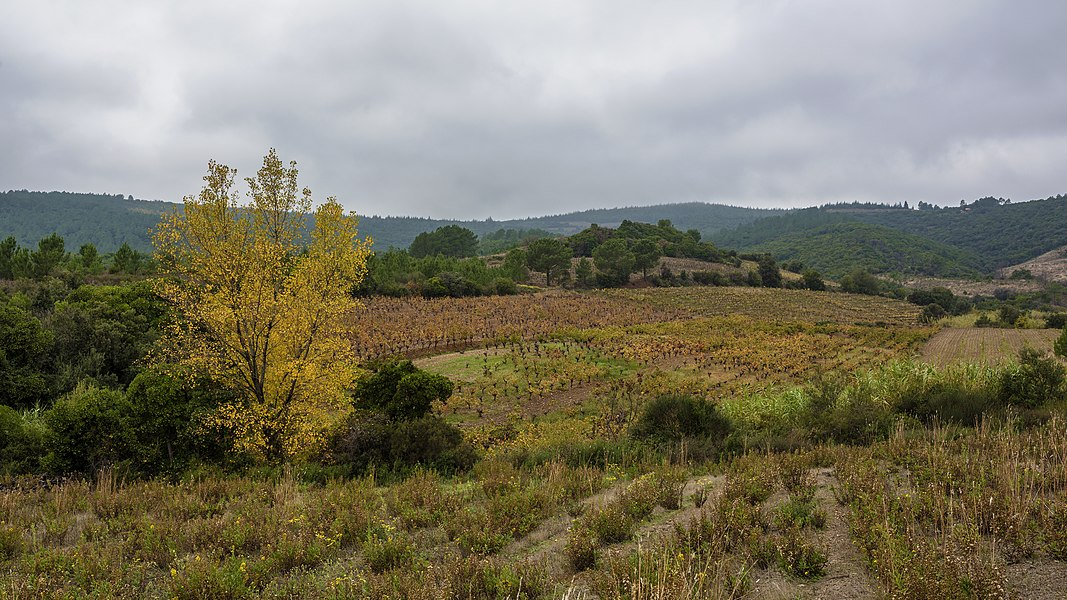 An Aspen tree (Populus) and vineyards of the AOC Saint-Chinian, in the commune of Prades-sur-Vernazobre, Hérault, France.