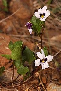 Viola cuneata 4662.JPG