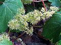 Vitis vinifera sylvestris Closeup SierraMadrona.jpg