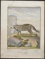 Viverra civetta - 1700-1880 - Print - Iconographia Zoologica - Special Collections University of Amsterdam - UBA01 IZ22400001.tif