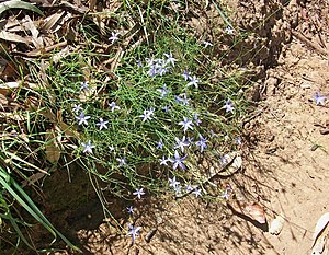 Wahlenbergia stricta - Wahlenbergia stricta growing on a river bank