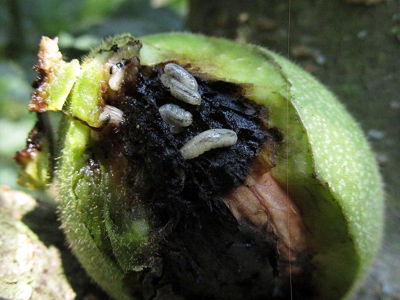larvy vrtivky orechovej