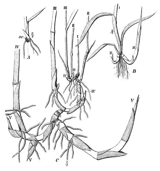 Warming-Skudbygning-Fig10-Phragmites-australis