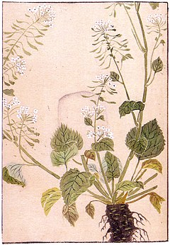A drawing of a wasabi plant, published in 1828 by Iwasaki Kanen.
