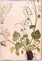Wasabi, Iwasaki Kanen 1828.jpg