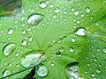 Water drops on green leaf.jpg