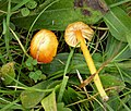 Wax Cap. Hygrocybe species (37605993696).jpg