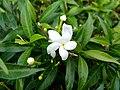 Wayanadan-random-flowers IMG 20180524 152946 HDR (41475299985).jpg