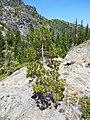 Western White Pine, Siskiyou Wilderness.jpg