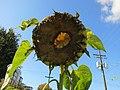 What's inside a sunflower? (10177503786).jpg