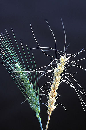 Gibberella zeae - Wheat scab caused by G. zeae (artificial inoculation)