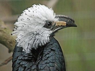 White-crested hornbill - Image: White crested Hornbill SMTC