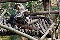 White-nosed Coati by Jeroen Kransen.jpg