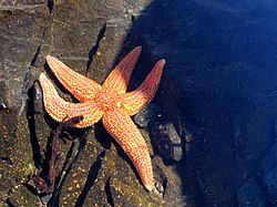 White Sea StarFish, Russia.jpg