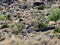 White Tank Mountains Regional Park - Two Ocotillos - 60134.JPG