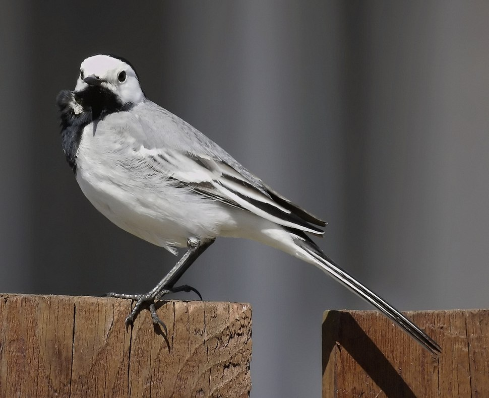 White Wagtail 001